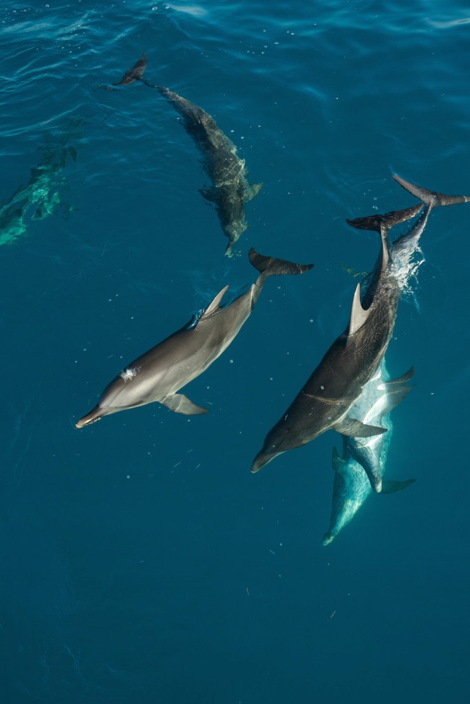 Picture Shows:  Dolphins, Bimini.