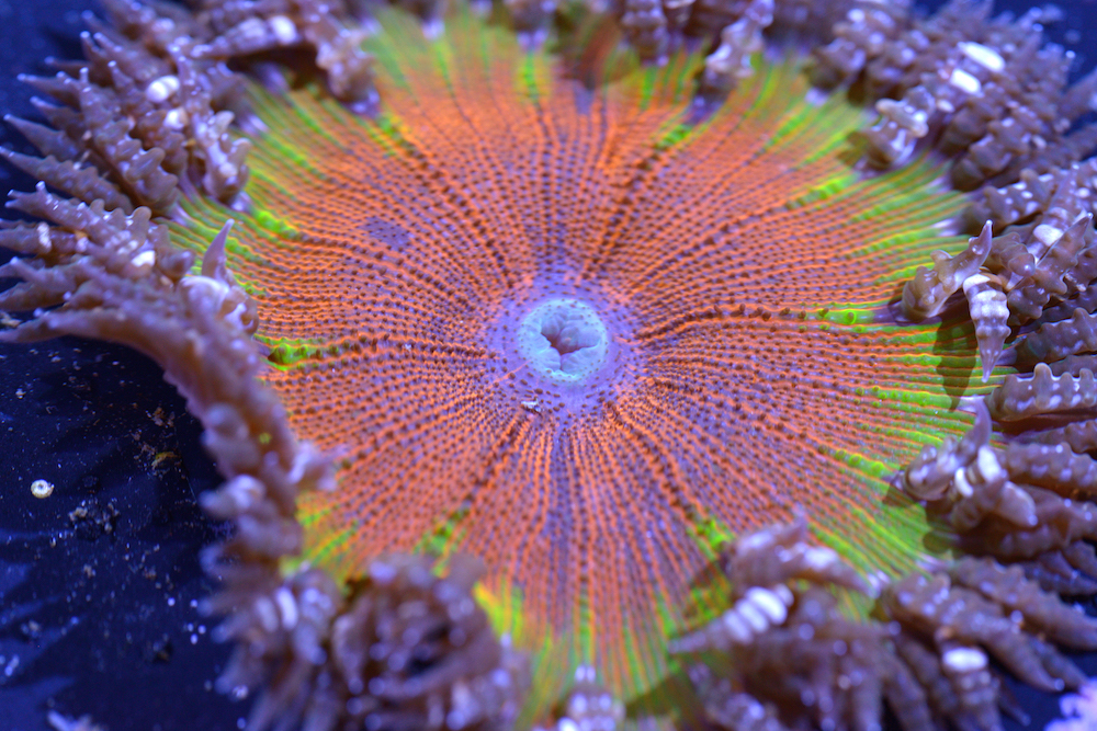 Picture Shows:  Epicystis crucifer sea anemones (aka rock flower anemones).